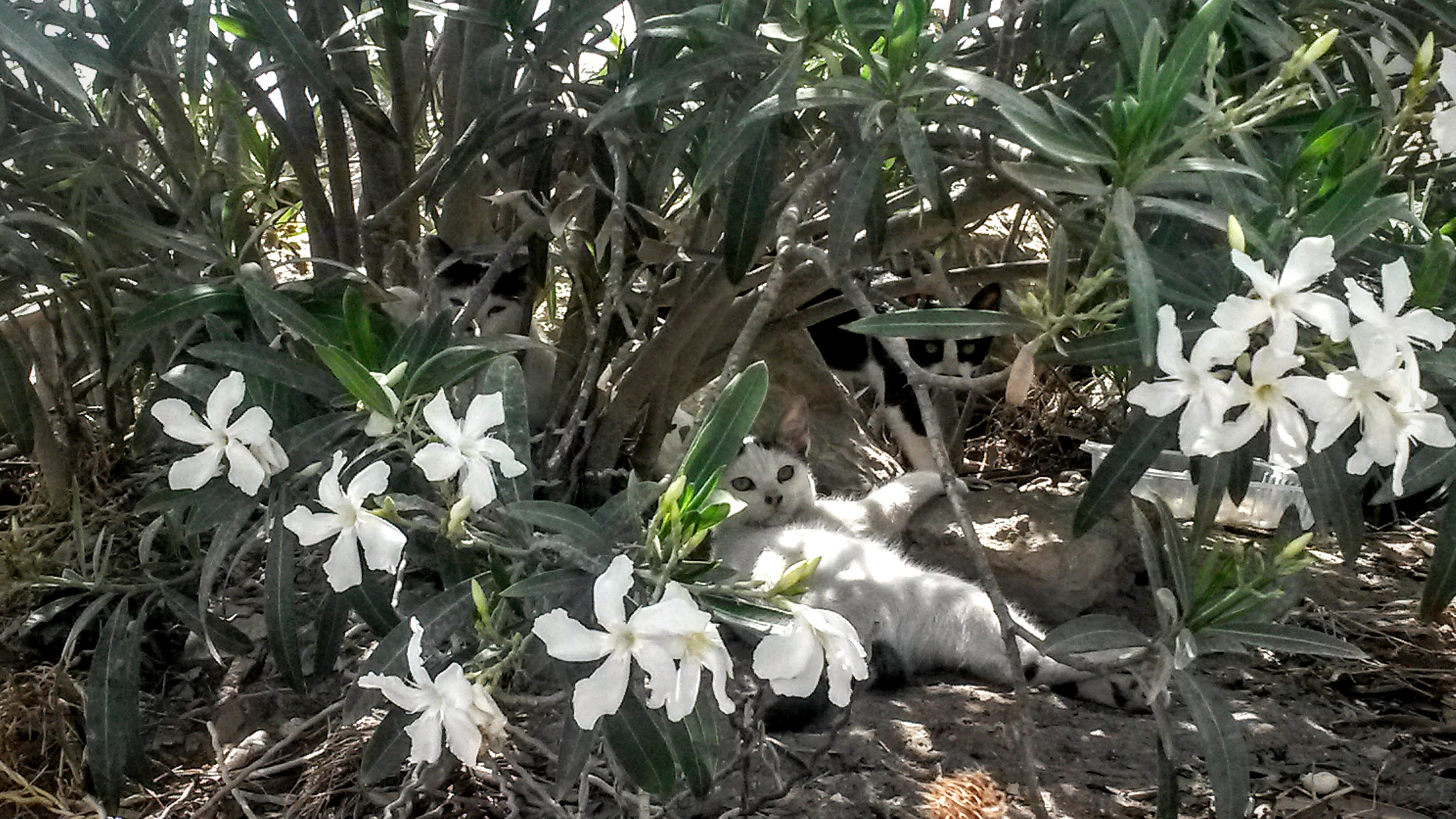 humanlike.co animals cats hiding under oleander